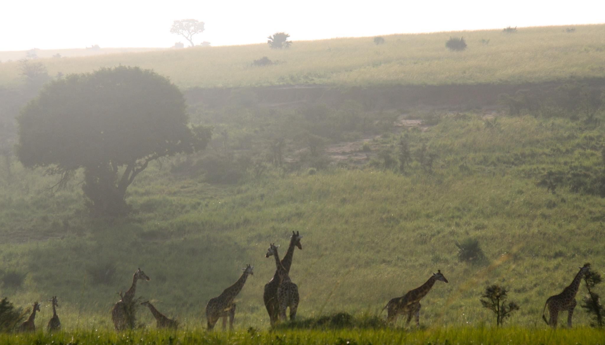 danielle-giraffe